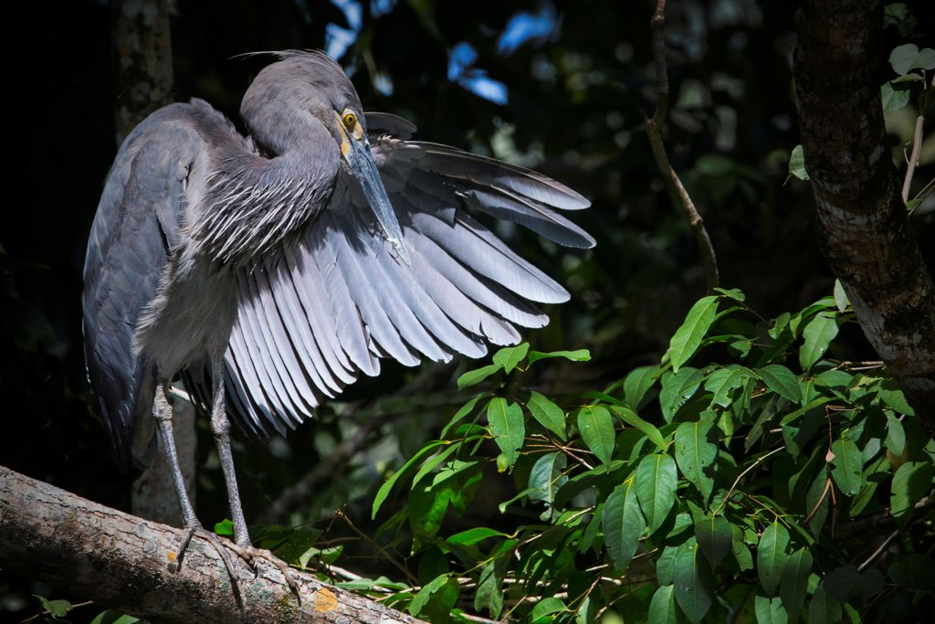 Great billed Heron (Photo: Steve Parish)