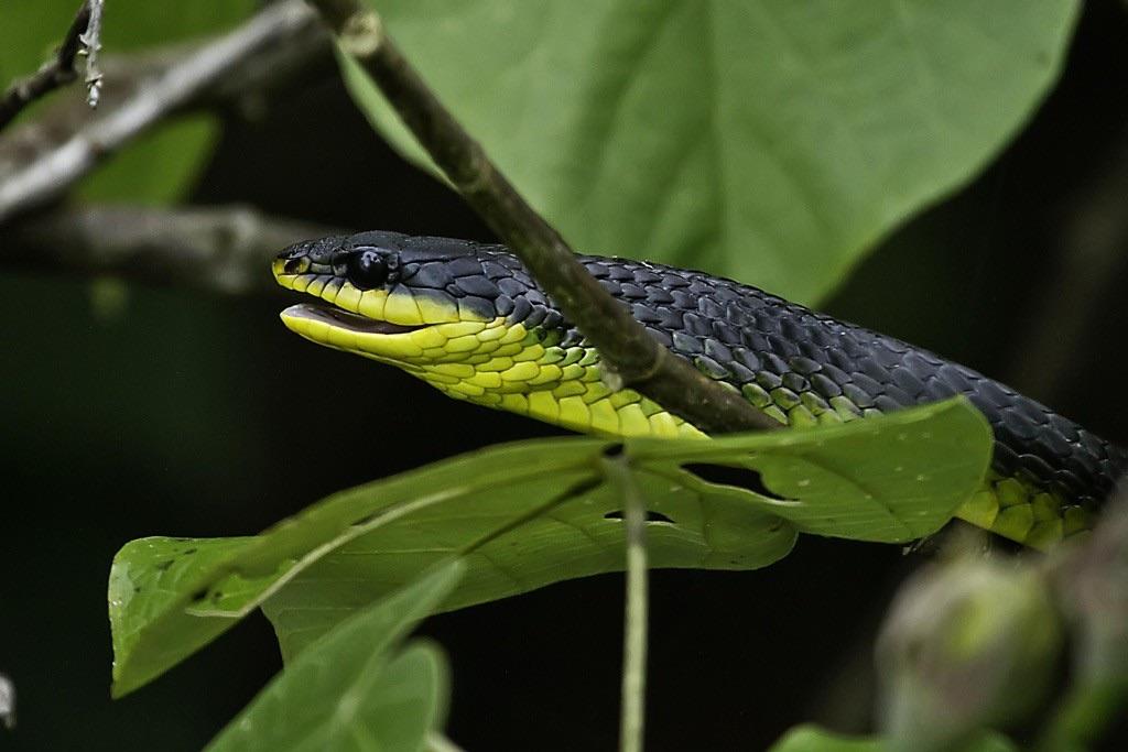 Green Tree Snake (Photo: Greg Holland)