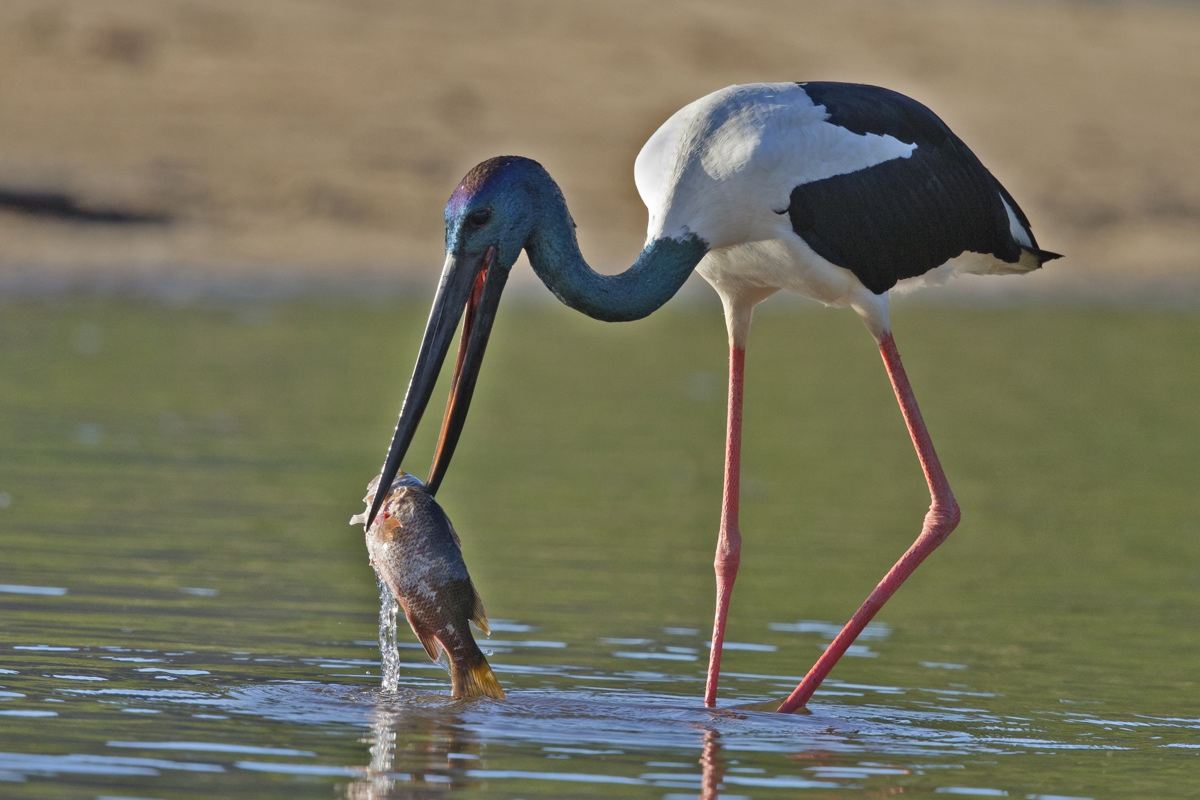 Black-necked Stork (Photo: Nevil Lazarus)