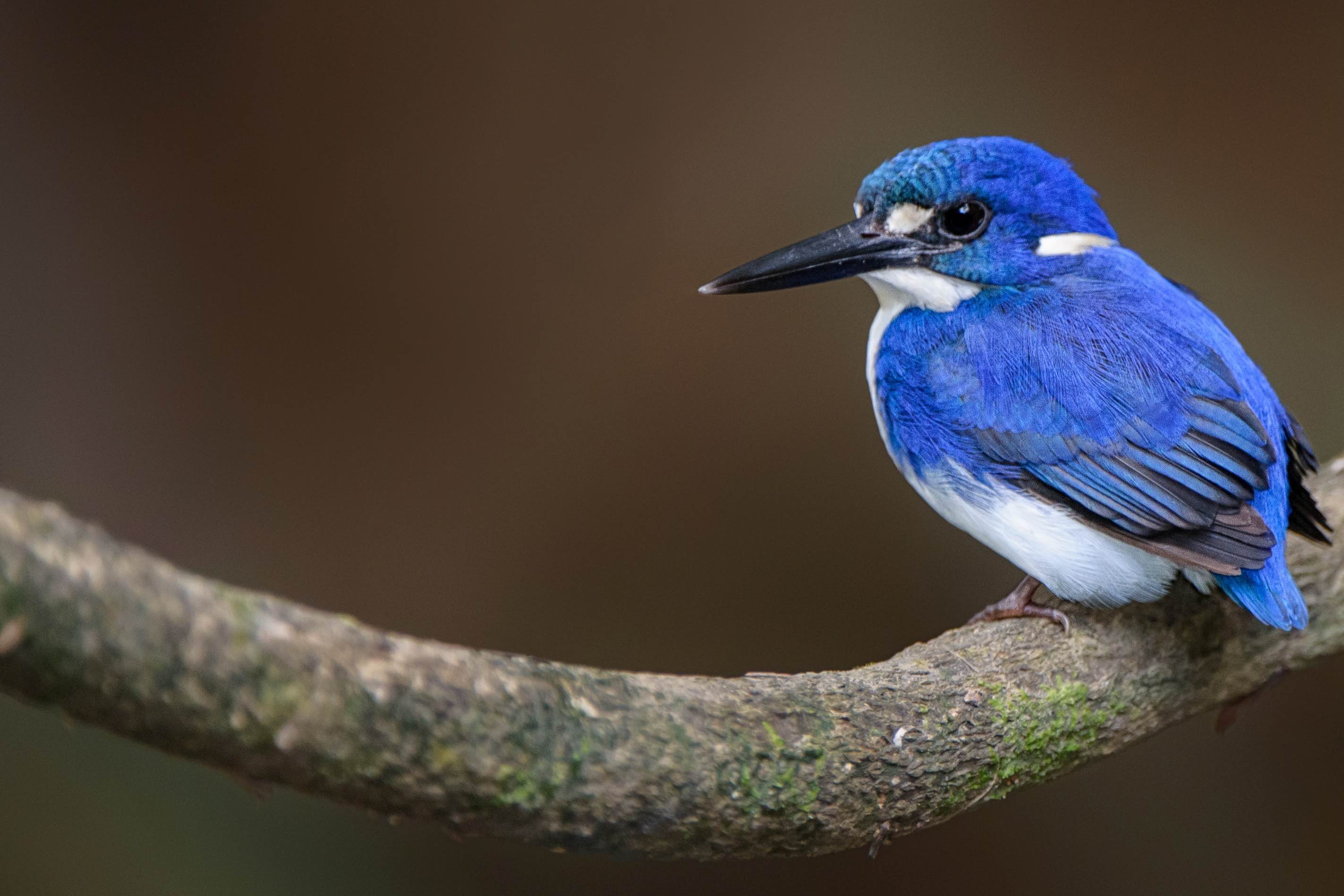Little Kingfisher (Photo: Tony Whitehead)