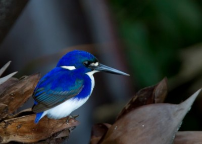 Little Kingfisher (Photo: Alfred Schulte)