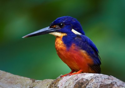 Azure Kingfisher (Photo: Martin Willis)