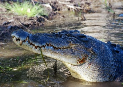 Saltwater Crocodile (Photo: Murray Hunt)