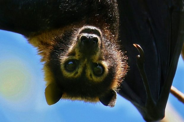 Spectacled Fruit Bat (Photo: David White)