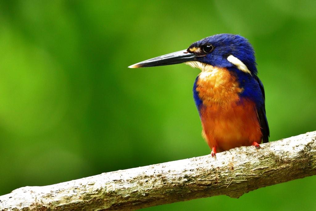 Azure Kingfisher (Photo: Koji Nakano)