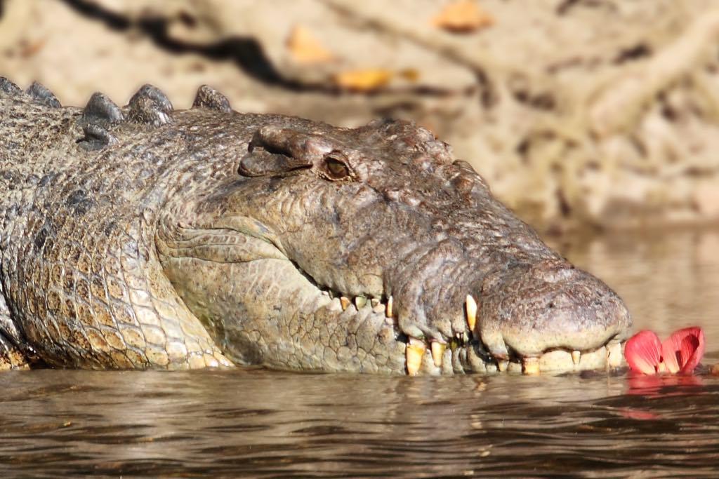 Saltwater Croc (Photo: Arkin Mackay)