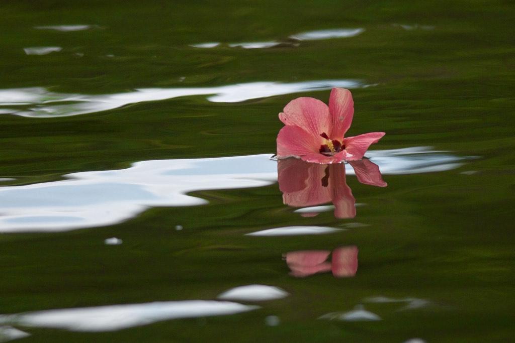 Hibiscus (Photo: Jun Matsui)